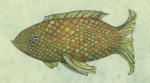 Susan Rossiter, Watercolor Fish Zone